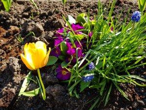 forår blomster tulipan